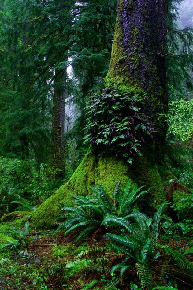 redwood-trees